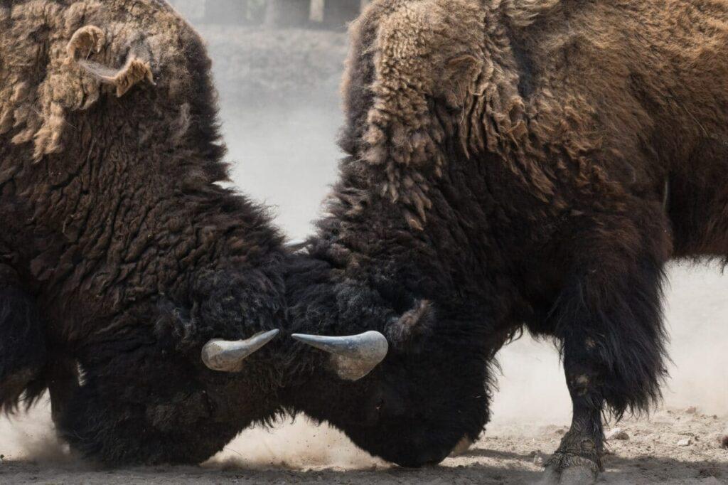 Zwei Stiere schlagen die Köpfe an einander