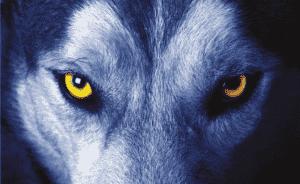 Nahaufnahme der Augen eines Wolfes